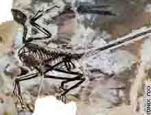 Four winged dinosaur fossil